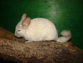 chinchilla_morph_small.jpg