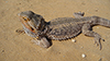 pogona vitticeps small 100x56